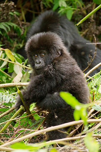 PRM 01 MC0047 01 © Kimball Stock Mountain Gorilla Baby Sitting In Day Nest Rwanda