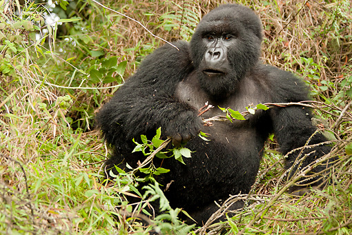 PRM 01 MC0048 01 © Kimball Stock Mountain Gorilla Sitting In Vegetation Rwanda