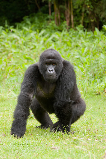 PRM 01 MC0049 01 © Kimball Stock Mountain Gorilla Sitting On Grass In Threat Display Rwanda