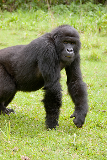 PRM 01 MC0051 01 © Kimball Stock Mountain Gorilla Standing On Grass Rwanda