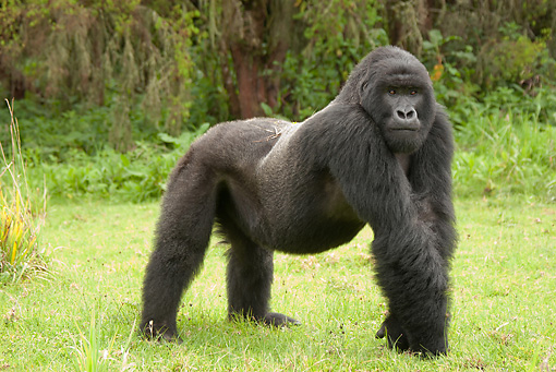PRM 01 MC0052 01 © Kimball Stock Silverback Mountain Gorilla Standing On Grass In Threat Display Rwanda