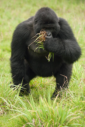 PRM 01 MC0053 01 © Kimball Stock Mountain Gorilla Standing On Grass In Threat Display Rwanda