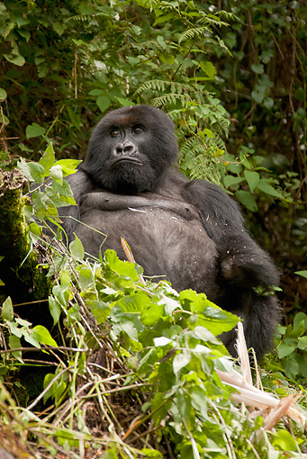 PRM 01 MC0055 01 © Kimball Stock Silverback Mountain Gorilla Missing Left Hand From Snare Rwanda