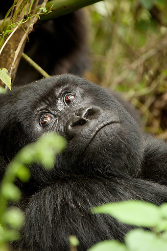 PRM 01 MC0057 01 © Kimball Stock Head Shot Of Silverback Mountain Gorilla Resting In Vegetation Rwanda