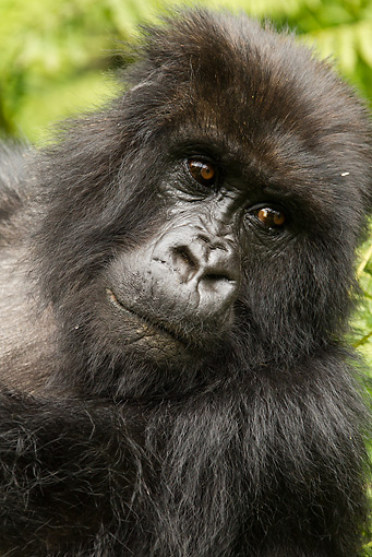 PRM 01 MC0066 01 © Kimball Stock Head Shot Of Mountain Gorilla Female In Jungle Rwanda