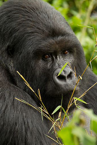 PRM 01 MC0068 01 © Kimball Stock Head Shot Of Silverback Mountain Gorilla Eating Bamboo Rwanda