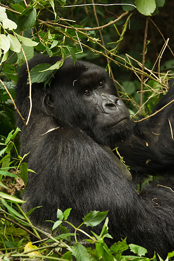 PRM 01 MC0069 01 © Kimball Stock Close-Up Of Silverback Mountain Gorilla Sitting In Vegetation Rwanda