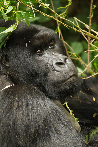 PRM 01 MC0070 01 © Kimball Stock Head Shot Of Silverback Mountain Gorilla Sitting In Vegetation Rwanda