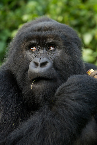 PRM 01 MC0072 01 © Kimball Stock Head Shot Of Mountain Gorilla Male Eating Bamboo Rwanda