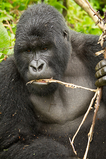 PRM 01 MC0074 01 © Kimball Stock Close-Up Of Silverback Mountain Gorilla Eating Bamboo Rwanda