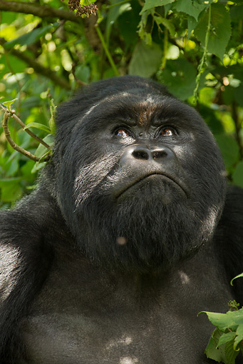 PRM 01 MC0075 01 © Kimball Stock Head Shot Of Silverback Mountain Gorilla Looking Up Rwanda