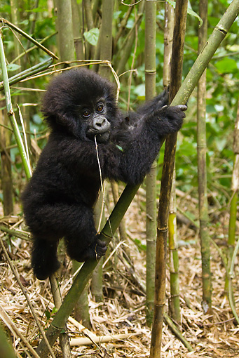 PRM 01 MC0084 01 © Kimball Stock Mountain Gorilla Baby Climbing On Bamboo Tree Rwanda
