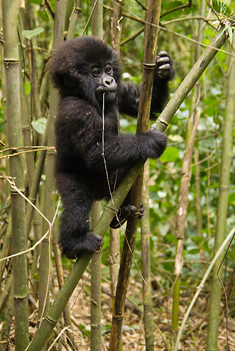PRM 01 MC0085 01 © Kimball Stock Mountain Gorilla Baby Climbing On Bamboo Tree Rwanda