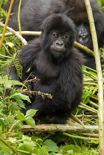 PRM 01 MC0086 01 © Kimball Stock Mountain Gorilla Baby Sitting In Bamboo Rwanda