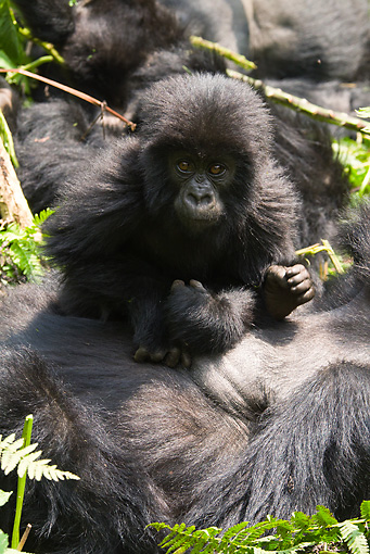 PRM 01 MC0088 01 © Kimball Stock Mountain Gorilla Baby Laying On Mother Rwanda