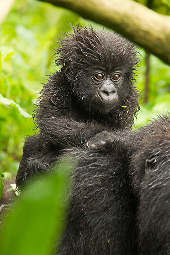 PRM 01 MC0089 01 © Kimball Stock Mountain Gorilla Baby Riding On Mother's Back Rwanda
