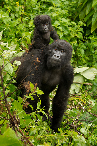 PRM 01 MC0090 01 © Kimball Stock Mountain Gorilla Baby Riding On Mother's Back Rwanda