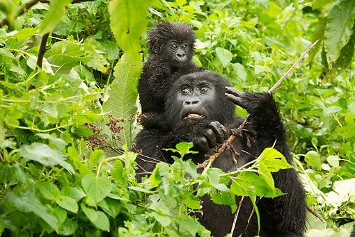 PRM 01 MC0091 01 © Kimball Stock Mountain Gorilla Baby Riding On Mother's Back Rwanda