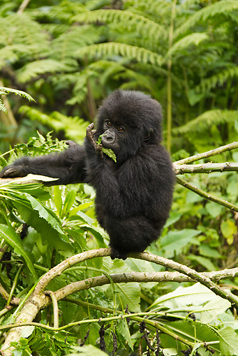 PRM 01 MC0092 01 © Kimball Stock Mountain Gorilla Baby Eating In Jungle Rwanda