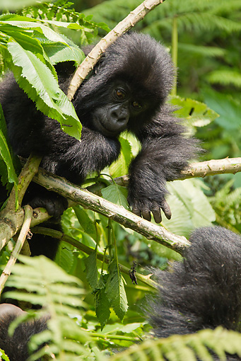 PRM 01 MC0093 01 © Kimball Stock Mountain Gorilla Baby Playing With Lobelia Plant Rwanda