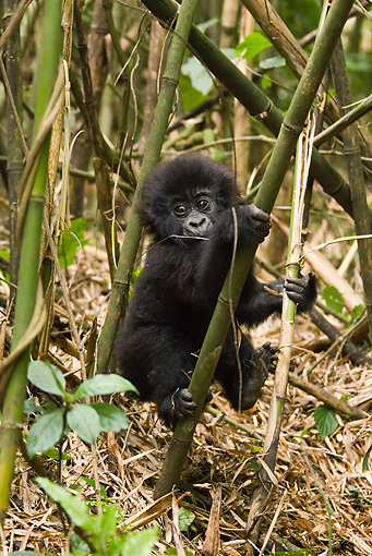 PRM 01 MC0094 01 © Kimball Stock Mountain Gorilla Baby Playing In Bamboo Rwanda