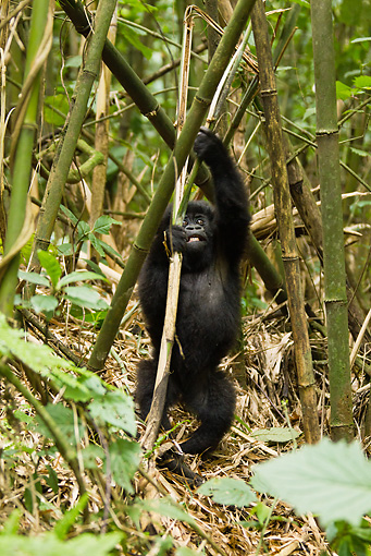 PRM 01 MC0095 01 © Kimball Stock Mountain Gorilla Baby Playing In Bamboo Rwanda