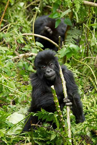 PRM 01 MC0096 01 © Kimball Stock Mountain Gorilla Baby Playing In Bamboo Rwanda