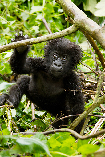 PRM 01 MC0097 01 © Kimball Stock Mountain Gorilla Baby Playing In Bamboo Rwanda
