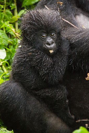 PRM 01 MC0099 01 © Kimball Stock Close-Up Of Mountain Gorilla Baby Clinging To Mother Rwanda