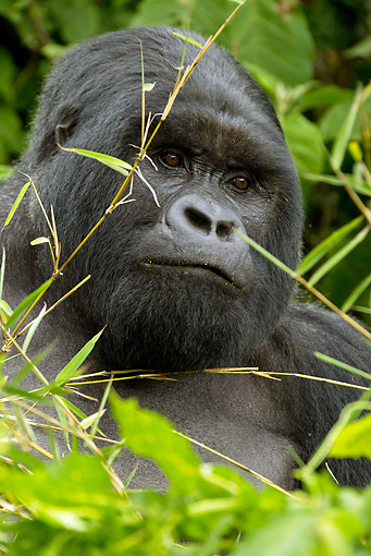 PRM 01 MC0101 01 © Kimball Stock Head Shot Of Silverback Mountain Gorilla Eating Bamboo Leaves Rwanda