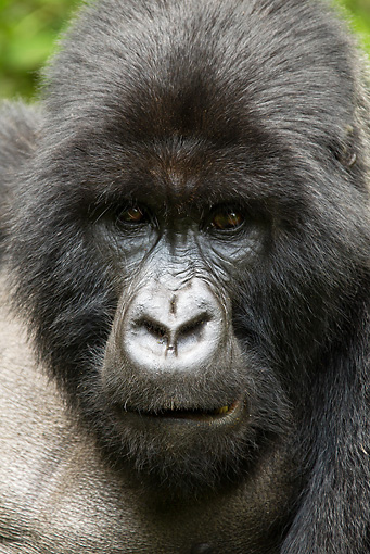 PRM 01 MC0102 01 © Kimball Stock Head Shot Of Silverback Mountain Gorilla Rwanda