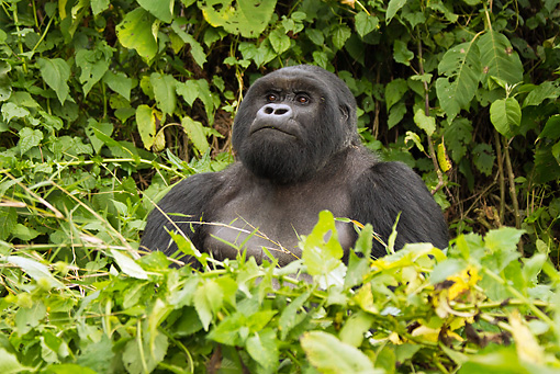 PRM 01 MC0103 01 © Kimball Stock Silverback Mountain Gorilla Eating Bamboo In Jungle Rwanda