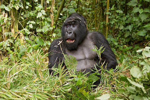 PRM 01 MC0104 01 © Kimball Stock Silverback Mountain Gorilla Eating Bamboo In Jungle Rwanda