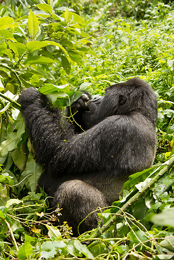 PRM 01 MC0105 01 © Kimball Stock Silverback Mountain Gorilla Eating Bamboo In Jungle Rwanda