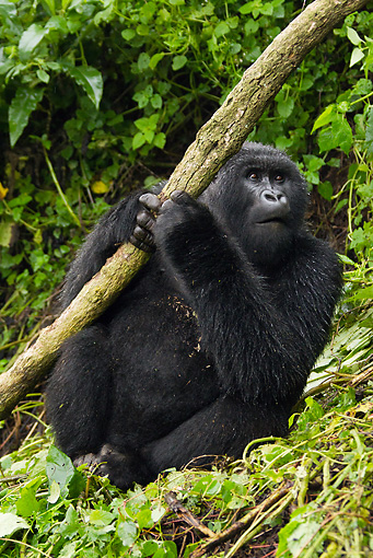 PRM 01 MC0106 01 © Kimball Stock Blackback Mountain Gorilla Eating Bark In Jungle Rwanda