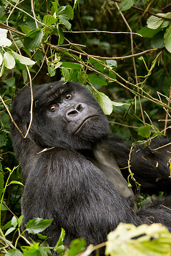 PRM 01 MC0107 01 © Kimball Stock Silverback Mountain Gorilla Eating Leaves In Jungle Rwanda