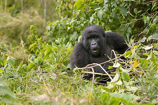 PRM 01 MC0108 01 © Kimball Stock Mountain Gorilla Sitting And Eating Bamboo Volcanoes National Park, Rwanda