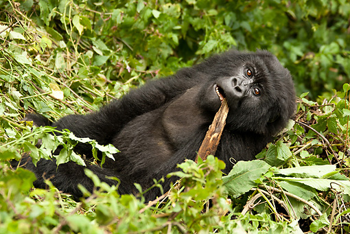 PRM 01 MC0109 01 © Kimball Stock Mountain Gorilla Eating Bamboo In Vegetation Volcanoes National Park, Rwanda