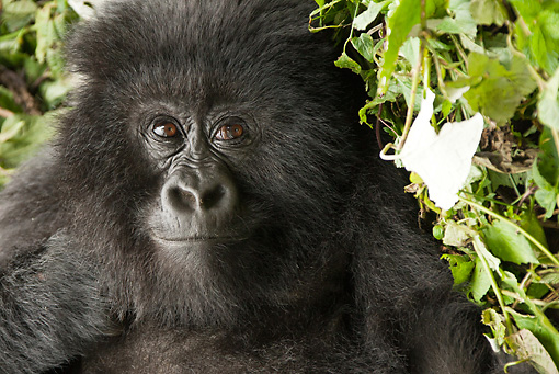 PRM 01 MC0110 01 © Kimball Stock Close-Up Of Mountain Gorilla Sitting In Vegetation Volcanoes National Park, Rwanda