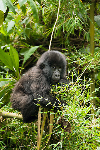 PRM 01 MC0113 01 © Kimball Stock Mountain Gorilla Baby Climbing In Bamboo Volcanoes National Park, Rwanda