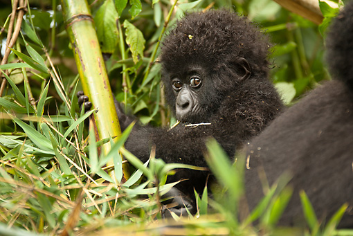 PRM 01 MC0114 01 © Kimball Stock Mountain Gorilla Baby Sitting In Vegetation Volcanoes National Park, Rwanda