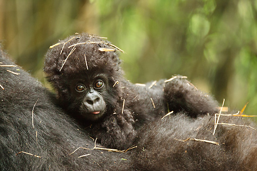 PRM 01 MC0117 01 © Kimball Stock Close-Up Of Mountain Gorilla Infant Volcanoes National Park, Rwanda