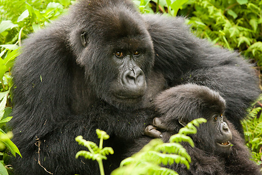 PRM 01 MC0119 01 © Kimball Stock Mountain Gorilla Mother Sitting With Baby Volcanoes National Park, Rwanda
