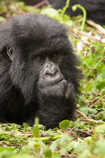 PRM 01 MC0120 01 © Kimball Stock Close-Up Of Mountain Gorilla Baby Volcanoes National Park, Rwanda