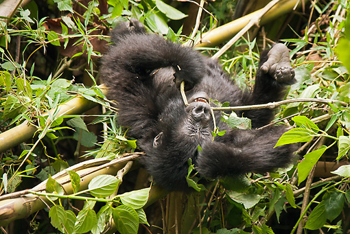PRM 01 MC0121 01 © Kimball Stock Mountain Gorilla Baby Playing In Bamboo Volcanoes National Park, Rwanda