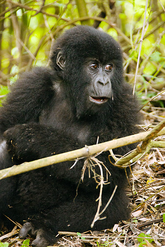 PRM 01 MC0122 01 © Kimball Stock Young Mountain Gorilla Eating Bamboo Volcanoes National Park, Rwanda