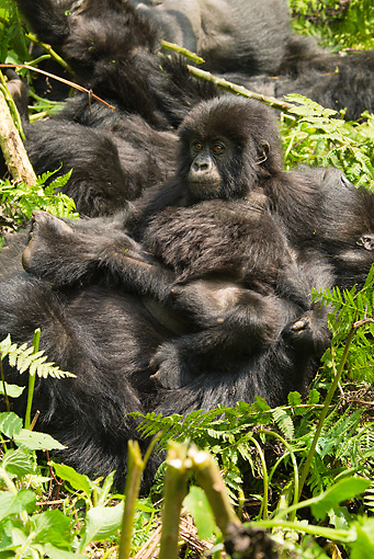 PRM 01 MC0125 01 © Kimball Stock Mountain Gorillas And Baby Resting In Vegetation Volcanoes National Park, Rwanda
