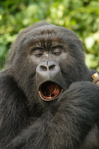 PRM 01 MC0131 01 © Kimball Stock Head Shot Of Blackback Mountain Gorilla Eating Bamboo Volcanoes National Park, Rwanda