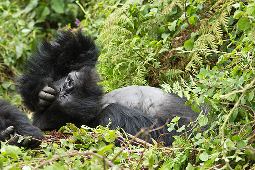 PRM 01 MC0134 01 © Kimball Stock Blackback Mountain Gorilla Resting In Day Bed Volcanoes National Park, Rwanda