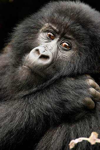 PRM 01 MC0137 01 © Kimball Stock Portrait Of Mountain Gorilla Resting In Day Bed In Rwanda Jungle